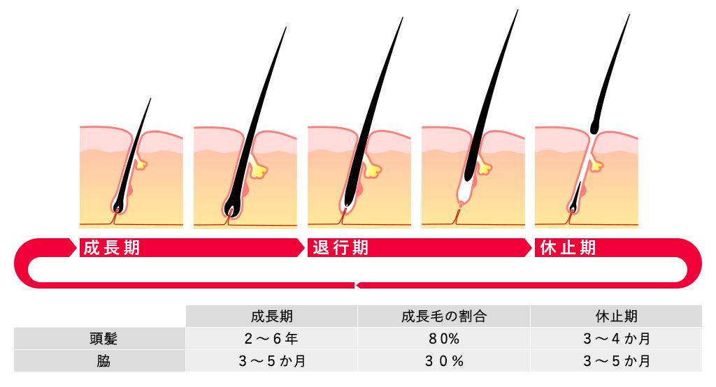毛の成長のサイクル「毛周期」と脱毛の関係イメージ