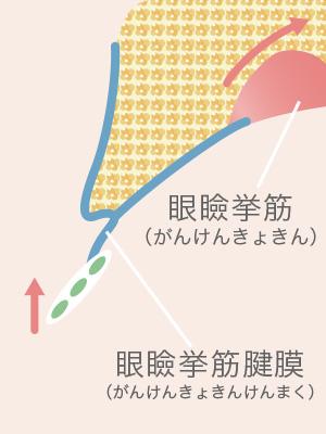 眼瞼下垂のメカニズム