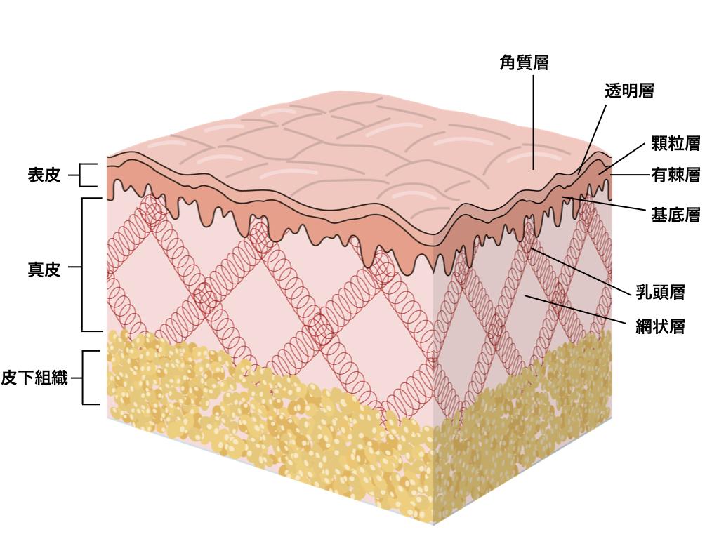 皮膚のできもの(皮膚がん・粉瘤・脂肪腫)分類、原因と特徴、治療を解説します!
