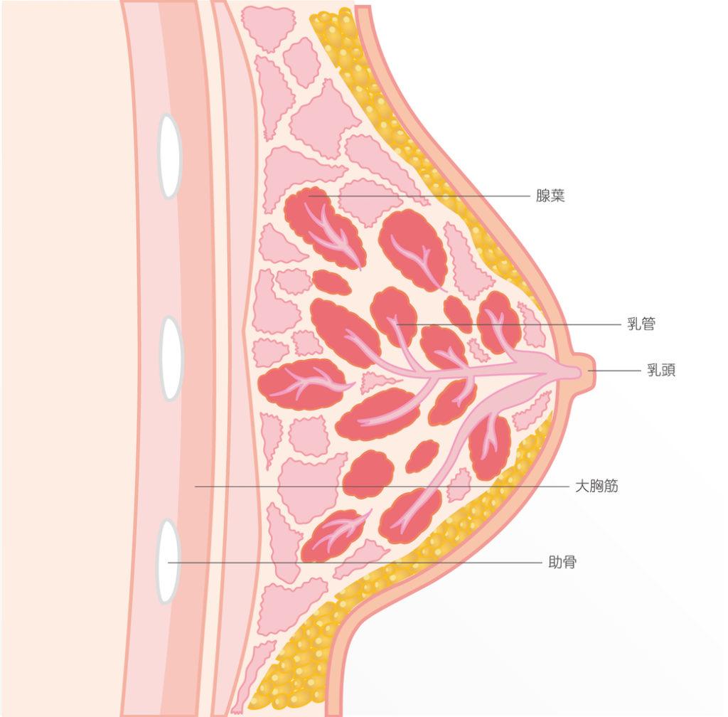 陥没乳頭【保険適用】新しい切らない手術法 / 原因とリスク