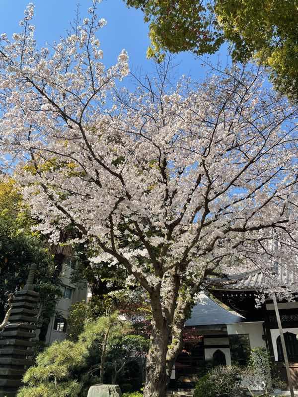 【桜】~~散るかこそ美しい~~